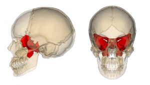My favorite cranial bone, the sphenoid. It barely shows at the side of the head, but inside it makes a gorgeous butterfly shape. When torqued, it also gave me a monstrous migraine headache!